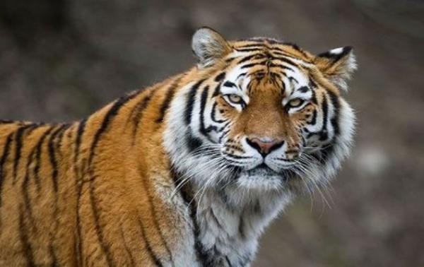 В Хабаровском крае двух тигров, подозреваемых в людоедстве, оставят в неволе