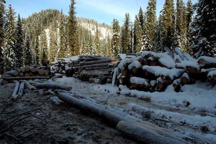 Власти Республики Алтай берут леса под охрану, чтобы остановить варварскую вырубку