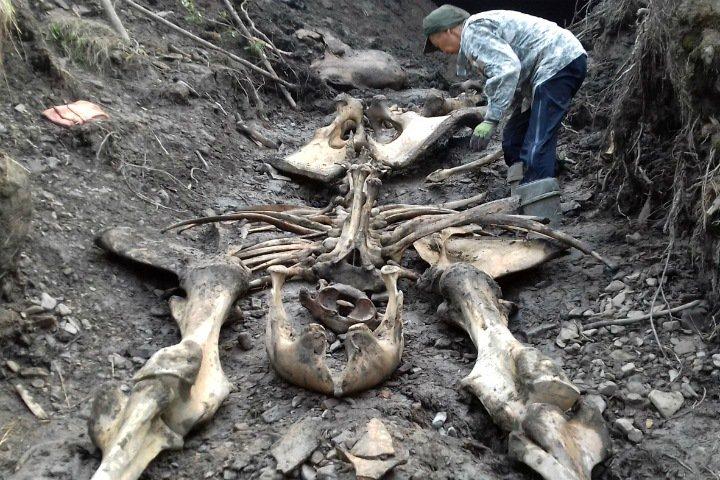 Якутские ученые впервые нашли тушу древней лошади и останки мамонта