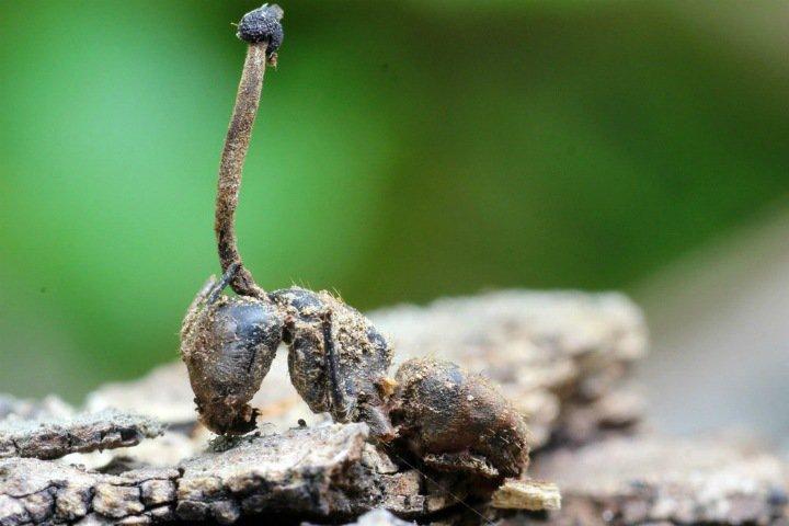 Ученые изучили насекомых-зомби в Приморье. Это поможет аграриям бороться с вредителями