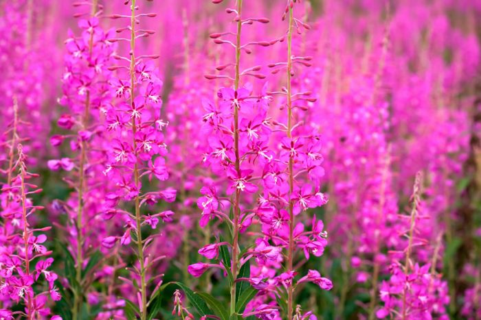 Лечебное растение иван чай – польза и вред