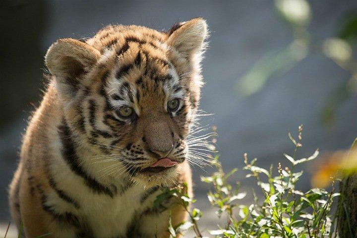 Ученые нашли способ сохранить здоровье популяции амурских тигров