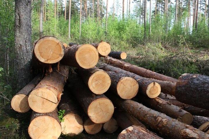 Лес на миллион рублей был вырублен из-за халатности бурятского лесника