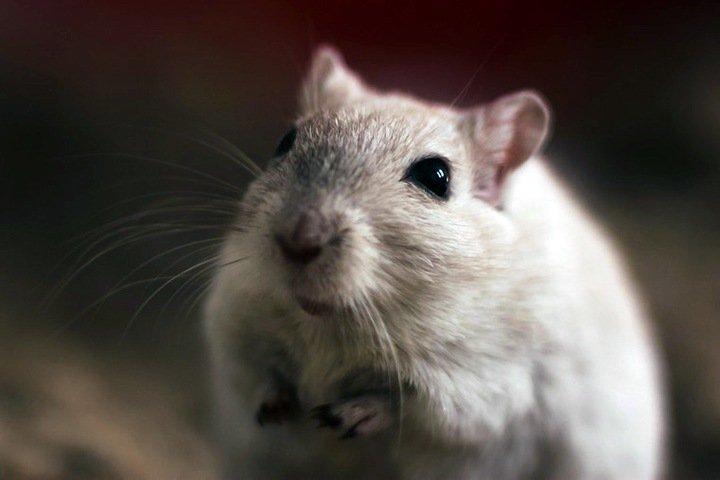 Новосибирские ученые вывели не страдающих аллергией мышей