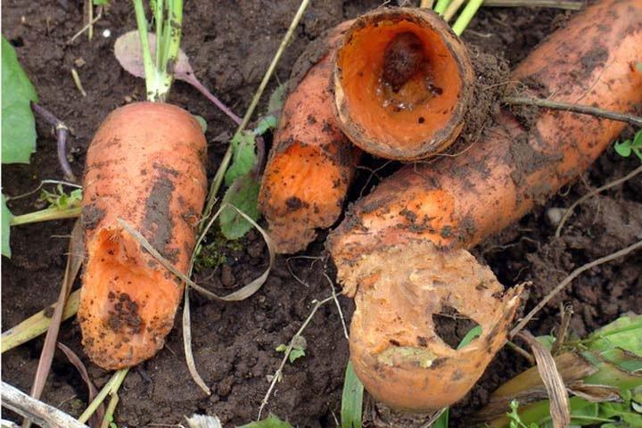 Новосибирская колония хочет купить семена моркови в разы дороже других учреждений ФСИН