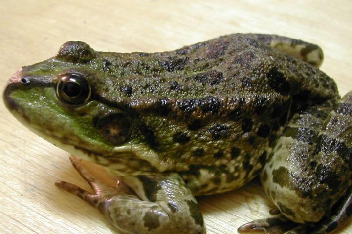 Российские ученые нашли «лягушек-двойников» с разной генетикой
