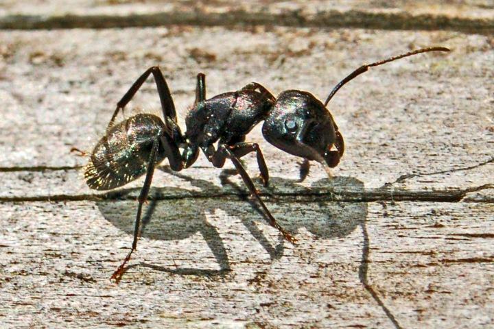 Ученые выделили из муравьев антибиотик. Его можно использовать для лечения рака