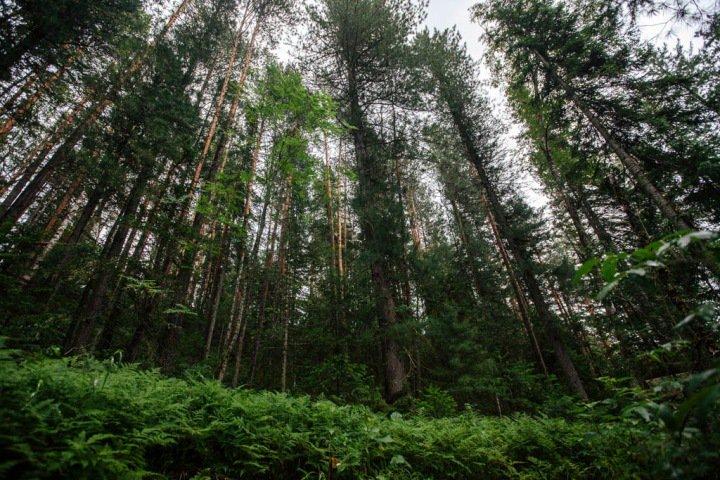 Алтайские чиновники продали участки с лесом за 2% от их стоимости
