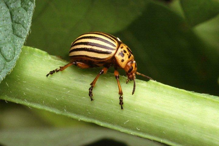 Томские ученые создали робота для борьбы с колорадским жуком