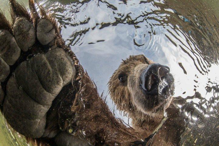 Фото дня: как медведь ловит рыбу на Камчатке