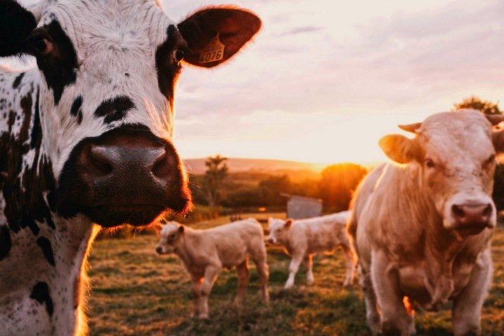 Алтайские аграрии стали следить за коровами с помощью вживленных чипов