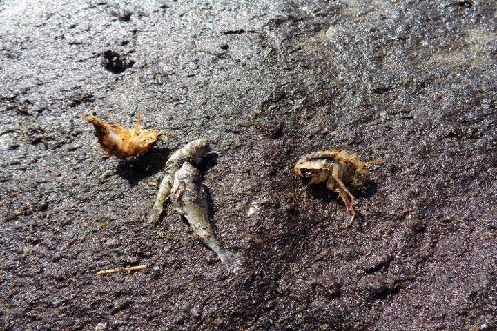Погибшая на севере Байкала рыба была заражена паразитами