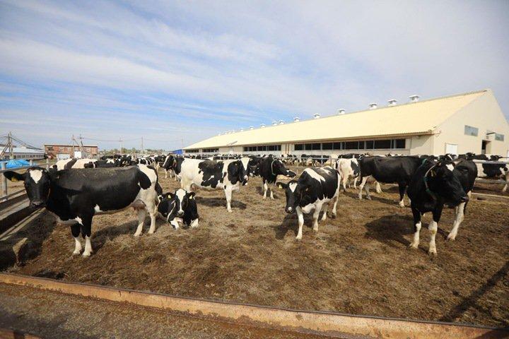 Человек заразил туберкулезом почти 1,4 тыс. коров в Приангарье. Теперь их забьют