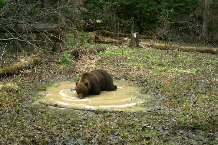Медведи заповедника «Столбы» поздно открыли купальный сезон