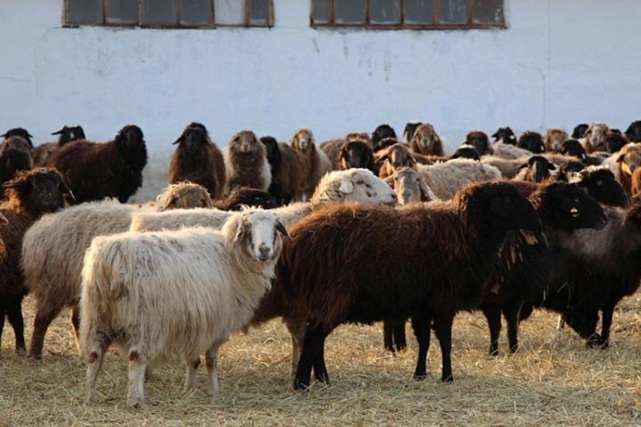 Северная Корея заинтересовалась 120-килограммовыми алтайскими баранами-производителями