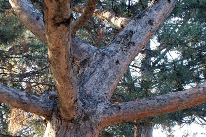 Одни из самых старых сосен России обнаружены на Алтае
