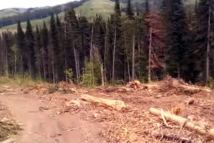 Компания экс-чиновника вырубала алтайский лес под видом «лечения»