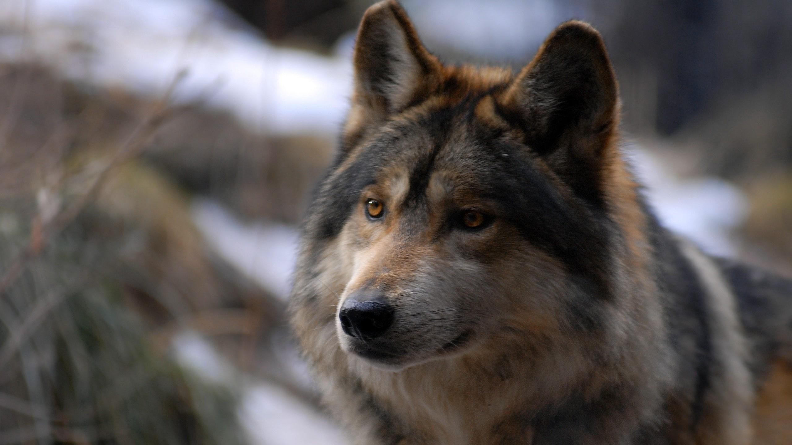 «Ты заходи, если что»: доказано, что волки заботливее собак