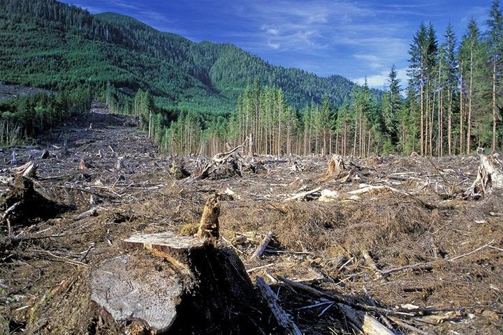 Больше половины алтайского леса уходит в Китай