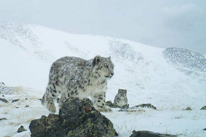 Фотоловушки сняли на Алтае двух новых снежных барсов