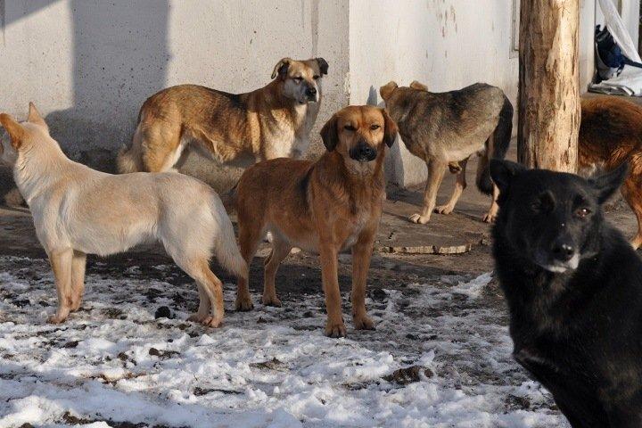 Стая собак загрызла женщину во дворе многоэтажки в Красноярске