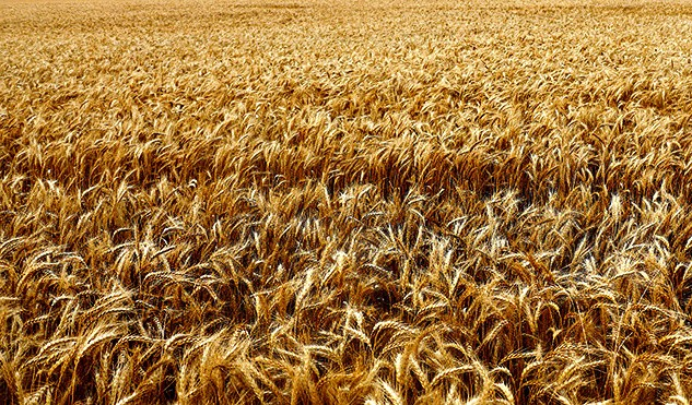Снижение цен на нефть отразилось на стоимости пшенице