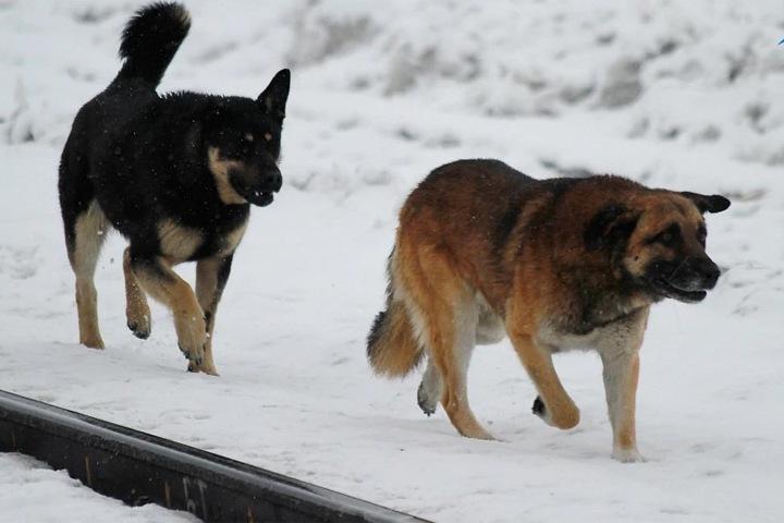 СК подтвердил гибель двух человек от укусов собак в Красноярске