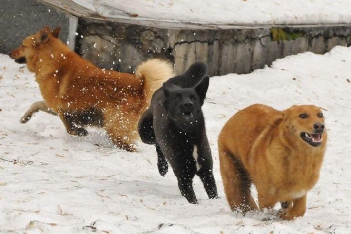 Красноярский СК объединил жертв бездомных собак в одно уголовное дело