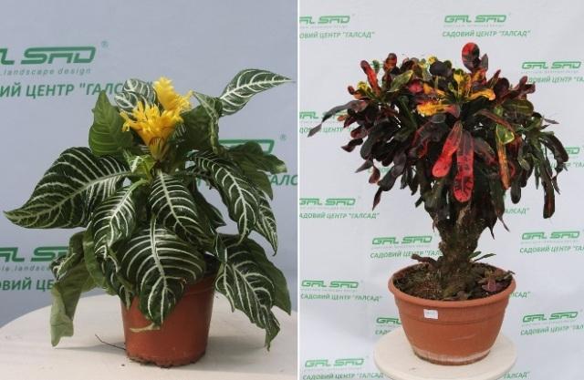 Комнатные растения по лучшей цене от садового центра