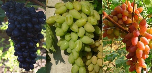 Что нужно знать, выбирая виноградные саженцы