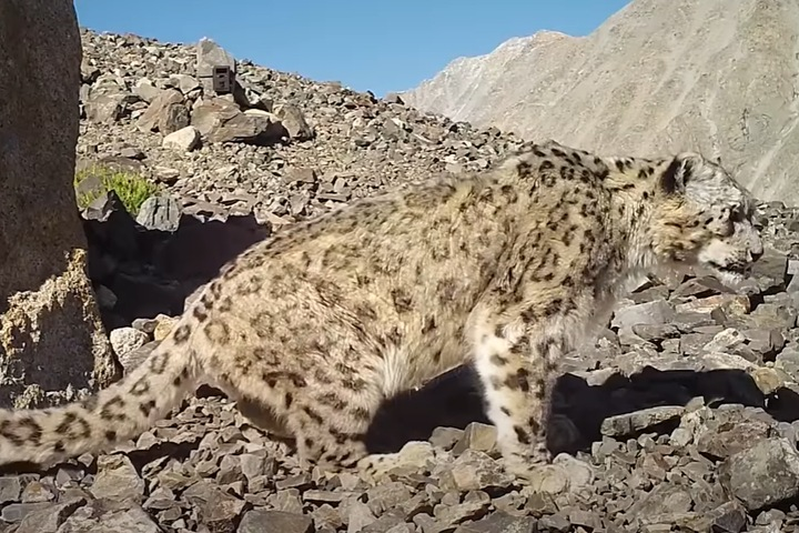 Алтайские ученые сняли фильм об экспедиции по изучению снежных барсов