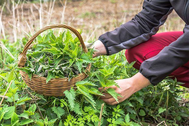 Как сорняки возле дома могут не только лечить, но и кормить