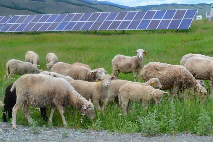 Территория солнечной станции стала пастбищем для овец в Республике Алтай