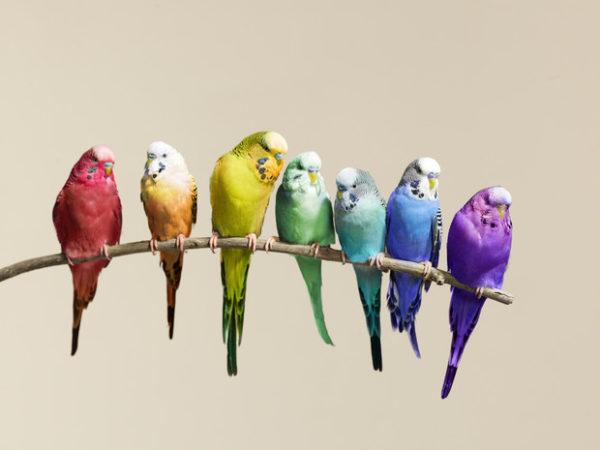 Всё о волнистых попугаях