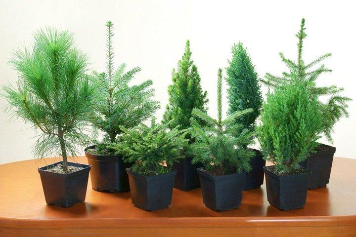 Томские ученые ускорили рост хвойных деревьев в десять раз