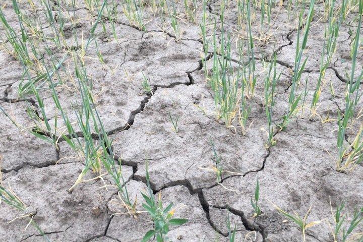 Посевы полностью погибли в 23 районах Алтайского края из-за засухи