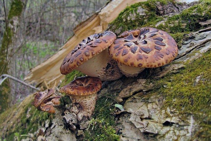 Растущие на пнях грибы подавляют рост раковых клеток
