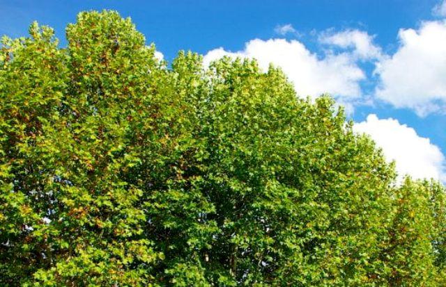 СO2 уменьшает жизнь деревьев: виной всему климат
