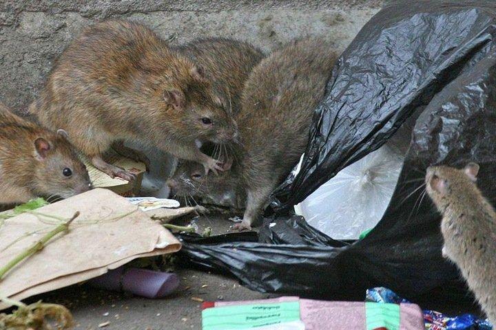 Новосибирец пожаловался на крыс и тараканов из-за торговых точек на Маркса