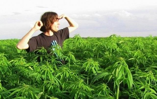 28 млн. грн с гектара. Как изменится бизнес на марихуане, если каннабис легализуют