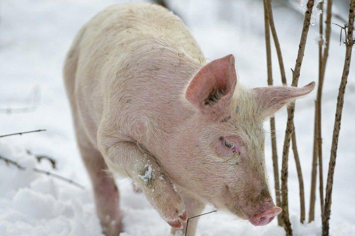 Порядка 300 свиней уничтожат в Омской области из-за чумы