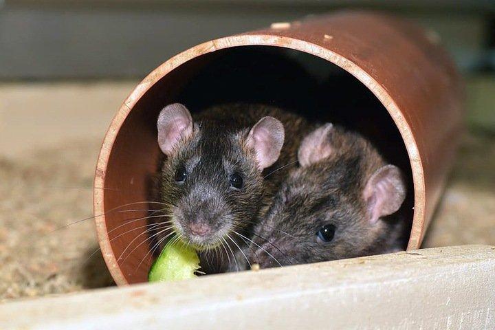 Крысы-алкоголики подсказали ученым, как можно лечить печень