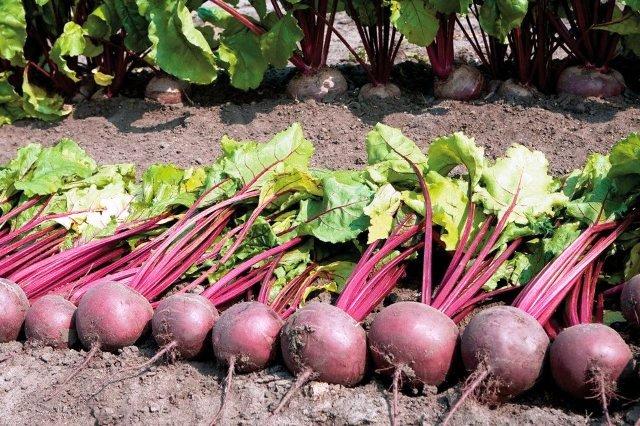 100 грамм красного буряка: чем полезен овощ для здоровья