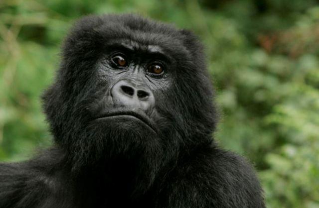 Межвидовое скрещивание: зачем ученым нужен был гибрид обезьяны и человека