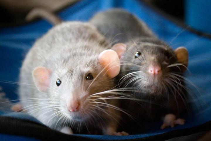 Байкальские бактерии и крысы-алкоголики. Открытия года в медицине