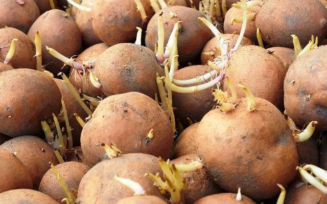 В пищу, в мусорное ведро или для лечения: как использовать проросший картофель