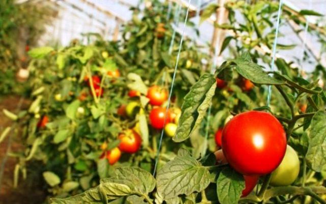Почему нельзя в одной теплице выращивать перец, помидоры и огурцы