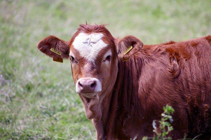 Опасные коровы в Туве и проснувшиеся медведи на Алтае. Сибирь за неделю