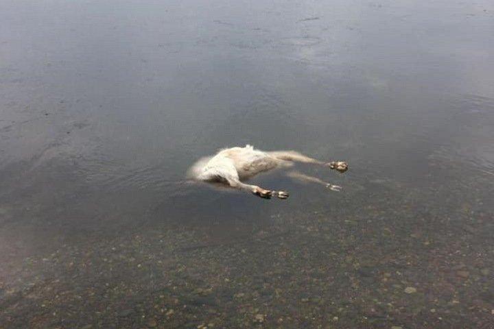 Туши плывут по Енисею: незаконный скотомогильник нашли около Красноярска
