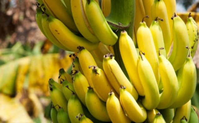 Какой инфекцией заражены бананы и почему они могут полностью исчезнуть